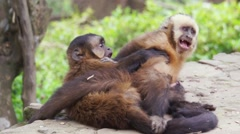2 Capuchin Monkeys Playing in Bolivia HD Stock Footage
