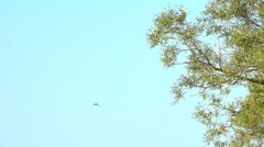 One bird flying in blue sky. Nature background with wildlife. Stock Footage