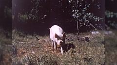 Hog Pigs Barnyard Family Farm Organic Meat 1960s Vintage Film Home Movie 10350 Stock Footage