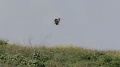 Buzzard flying over green field Stock Footage