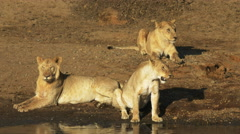 Three young lions sit together at the edge of the mara river in kenya Stock Footage