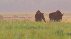 European Bison. Fight of two males. Rutting season. Stock Footage
