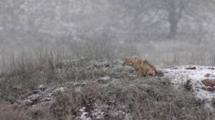 Golden jackal in the snow Stock Footage