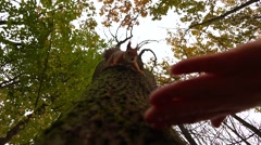 Feeding squirrel climbing down the tree in autumn park slow motion shot Stock Footage