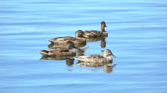 Mallards in lake. Nature background with wildlife. Stock Footage