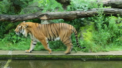 A nervous tiger walking back and forth in its aviary at the famous Prague zoo Stock Footage