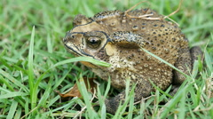 Closeup the toad Stock Footage