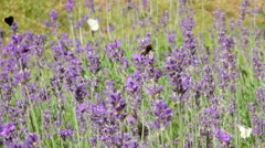 Bumblebees and butterflies collecting nectar from lavender flowers Stock Footage