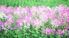 Purple Pink spider flower (Cleome spinosa Jacq) blooming in garden Stock Footage