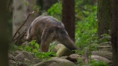 Wolf in a forest Stock Footage