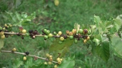 Coffee beans on trees, left pan Stock Footage