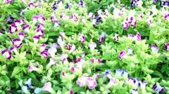 Torenia flower blooming in garden, right pan Stock Footage