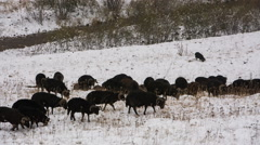 Sheep's graze on the Alpine slopes of high mountains of the Caucasus Stock Footage
