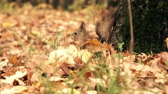 Squirrel eating in autumn park 4K shot Stock Footage