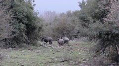 Wild Boar Running Stock Footage