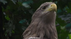 Whitetailed eagle on a tree Stock Footage