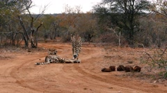 Cheetahs relaxing on ground Stock Footage