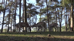 4k Fallow deers herd in sunny conifer forest low angle shot Stock Footage