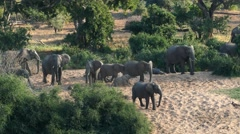 Elephant family with playing baby elephants Stock Footage