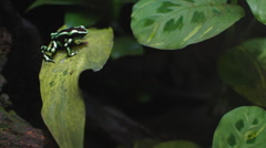 Green Tree Frog Stock Footage