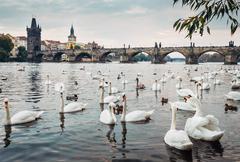 Swans in Vltava river with Karl Bridge on Background Stock Photos