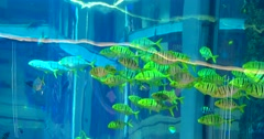 A swarm of striped fish swim in a generic picture of an aquarium Stock Footage