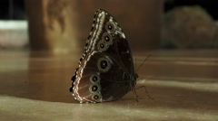 An owl butterfly Stock Footage