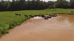 Herd of Cows Leaving Watering Hole Stock Footage