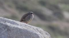 Chukar bird standing Stock Footage