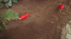 Scarlet Ibis Stock Footage