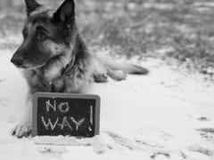 Dog On High Alert Stock Photos