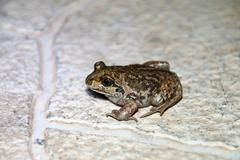 Common spadefoot (Pelobates vespertinus Pallas, 1771) on the paving tile in t Stock Photos