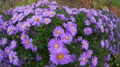 Purple flowers in autumn Stock Footage