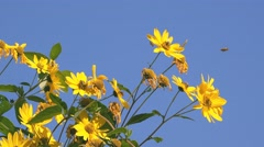 Jerusalem artichoke flowers Stock Footage