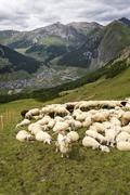 Flock of goats and sheep in Alps mountains, Livigno, Italy Stock Photos