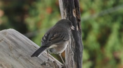 Black Eyed Junco Perched Backside Stock Footage