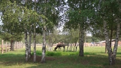 Lonely adult camel walking in zoo Stock Footage