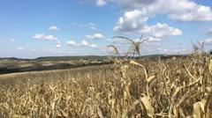 Dry Maize field landscape Stock Footage