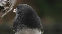 Black Eyed Junco eating seeds closeup Stock Footage