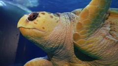 Big Sea Turtle Stock Footage