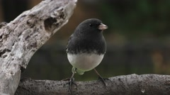 Black Eyed Junco Full Front Body Closeup Stock Footage