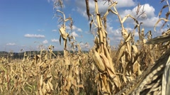 Tilt up from a dry Maize field landscape Stock Footage