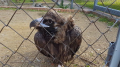 Eagle bird in zoo cage. Stock Footage