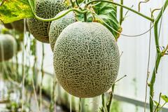Cantaloupe. Fresh melon on tree. selective focus Stock Photos