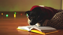 Cute dog wearing glasses and red suit, reading the book on his couch in the Stock Footage