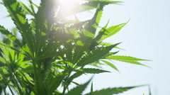 CLOSE UP, DOF: Amazing hemp plants flowering and swaying in summer breeze Stock Footage