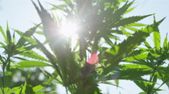 CLOSE UP, DOF: Nice ganja plant leaves swaying in soft summer wind on sunny day Stock Footage