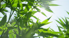 CLOSE UP, DOF: Nice fresh ganja leaves swaying in soft summer wind on sunny day Stock Footage
