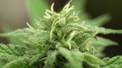 MACRO, DOF: Detail of flowering marijuana bud with visible crystals of trichomes Stock Footage