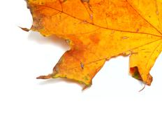 Part of autumn dried maple-leaf Stock Photos